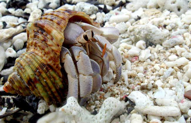 陆寄居蟹种类图片