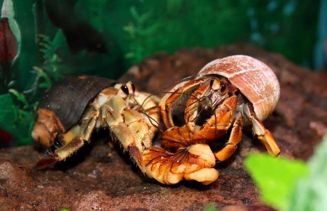 寄居蟹能活多久