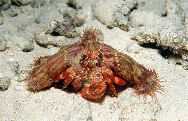 寄居蟹如何与海葵共生