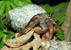 寄居蟹的营养价值