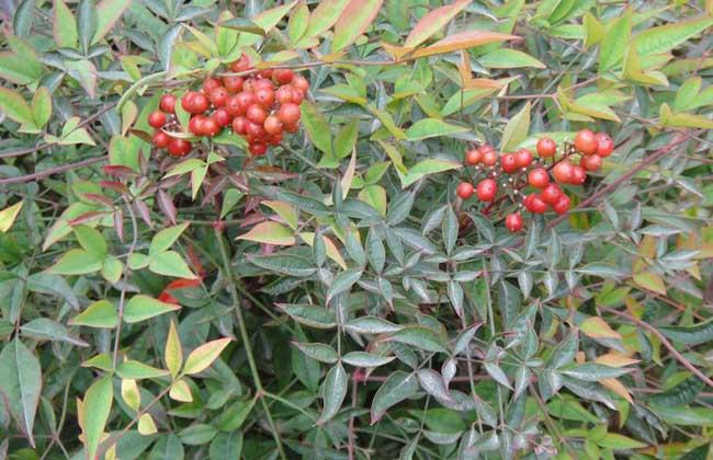 常见的常绿灌木有哪些?