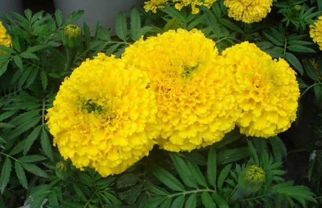 常见的一年生花卉有哪些?