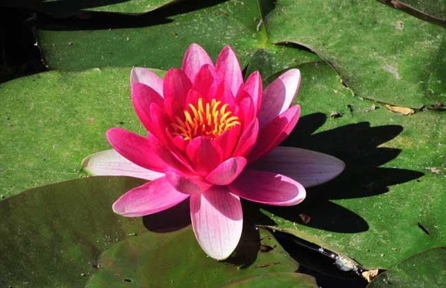 在水里养的花有哪些?
