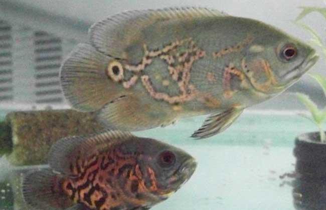 地图鱼吃什么食物
