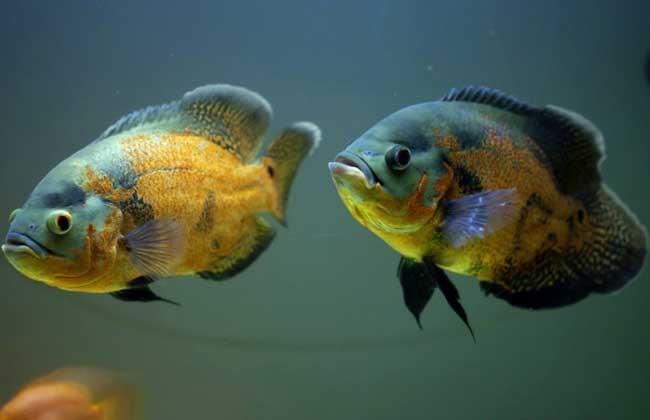 地图鱼常见病防治方法