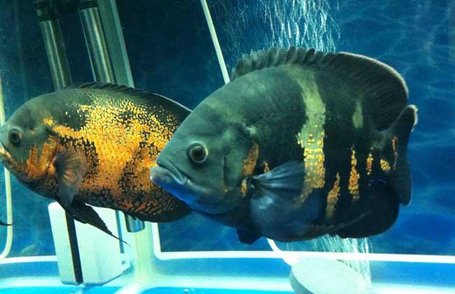 地图鱼不吃食怎么办