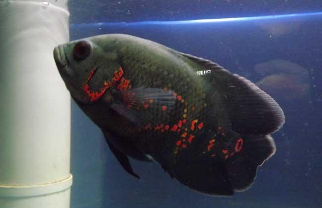 地图鱼到底能长多大