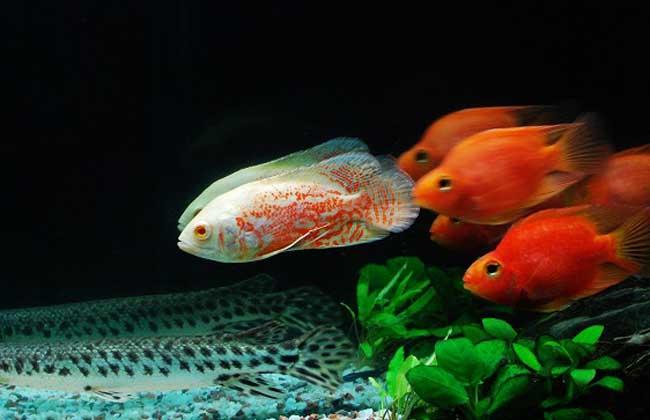 地图鱼吃什么长得快
