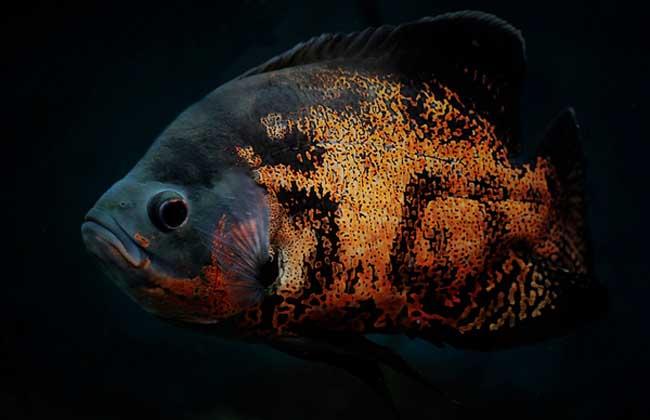 地图鱼养殖技术视频