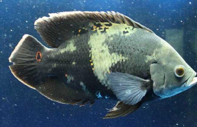 地图鱼养殖技术