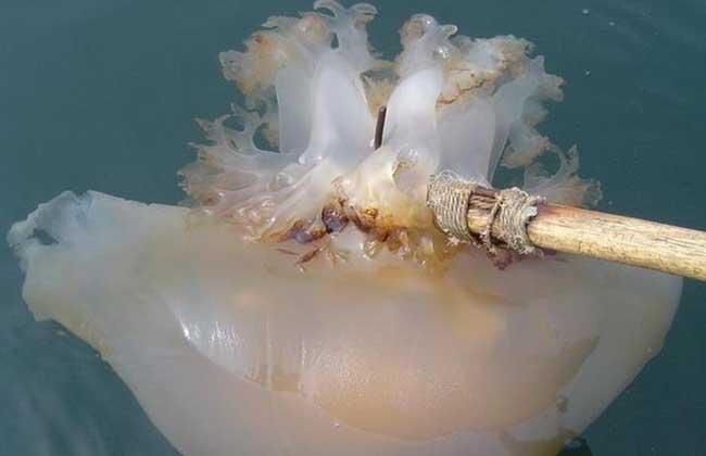 海蜇是水母吗?