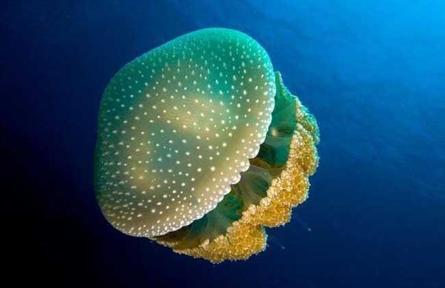 海蜇是水母吗