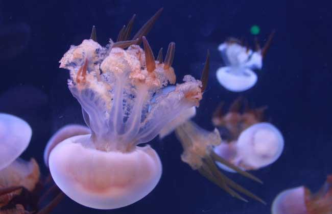 海蜇养殖技术视频