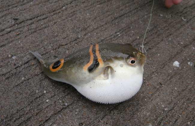河豚鱼能吃吗?