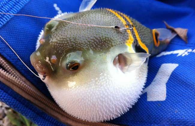 河豚鱼养殖技术