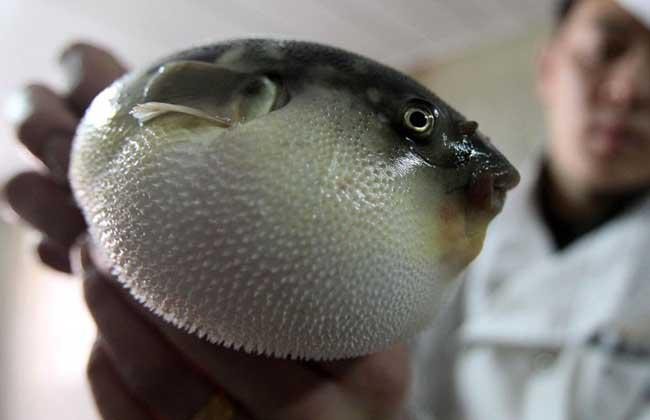 河豚鱼哪里有毒?