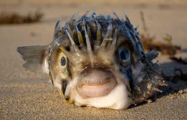 河豚鱼种类图片
