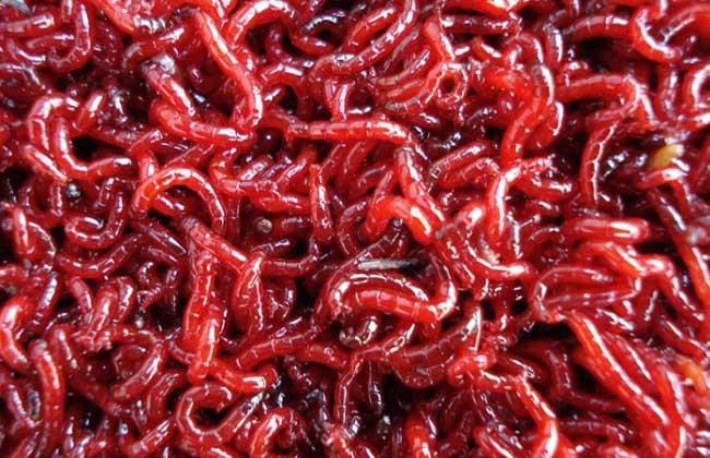 红虫养殖技术