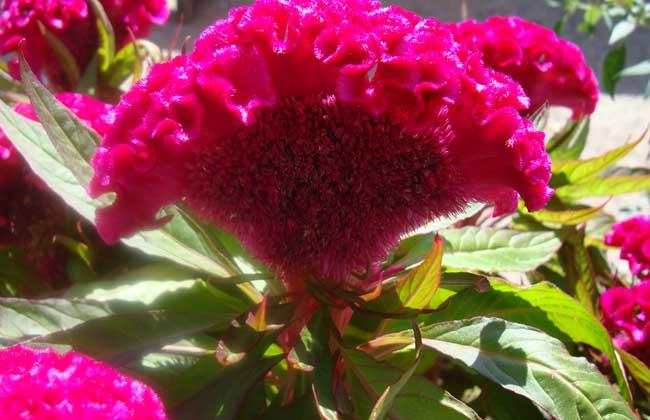 鸡冠花什么时候开花
