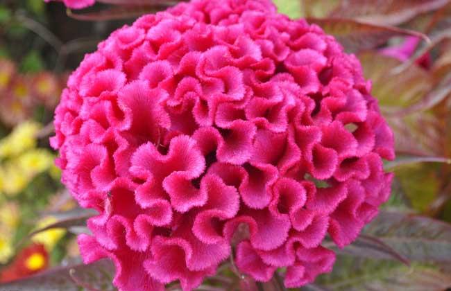 鸡冠花种子繁殖方法