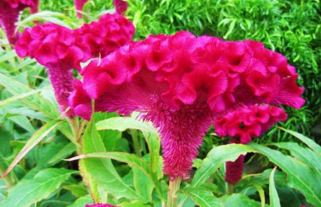 鸡冠花盆栽养殖方法