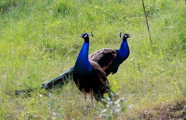 蓝孔雀养殖技术