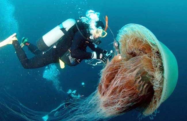 北极霞水母图片