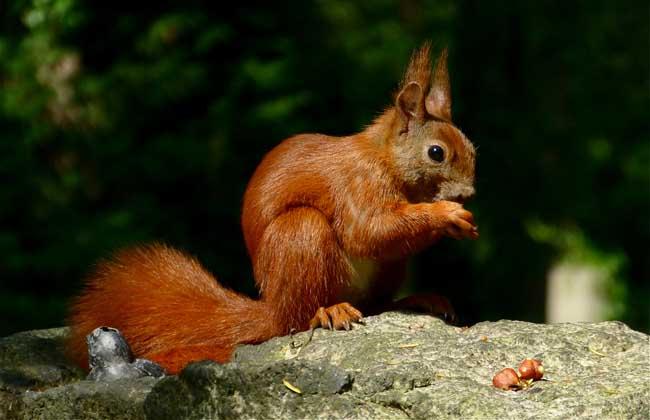 欧洲红松鼠多少钱