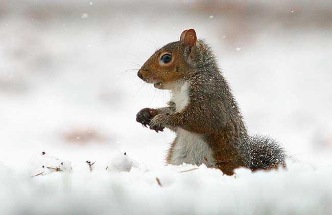 雪地松鼠养殖方法