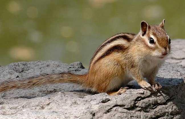 松鼠的寿命有多长