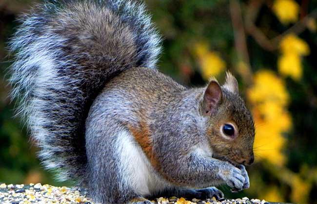 松鼠的天敌是什么动物