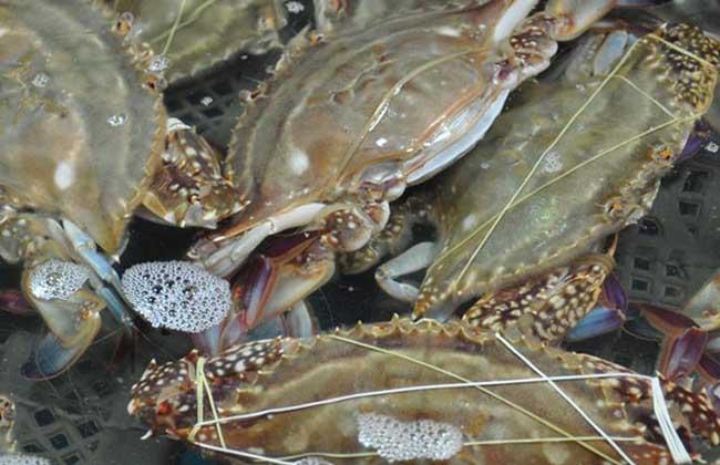 梭子蟹怎么洗才干净