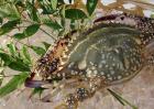 三疣梭子蟹图片