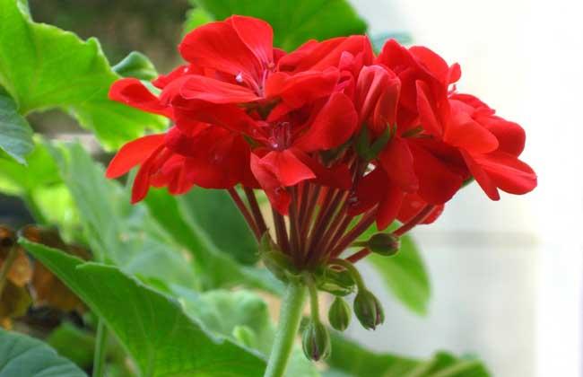 天竺葵的扦插方法