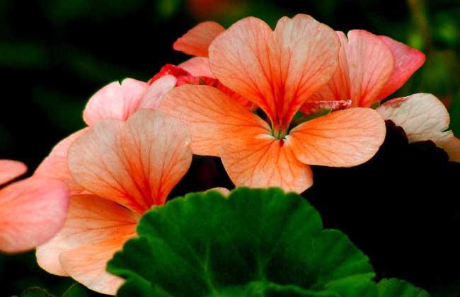 天竺葵种类图片