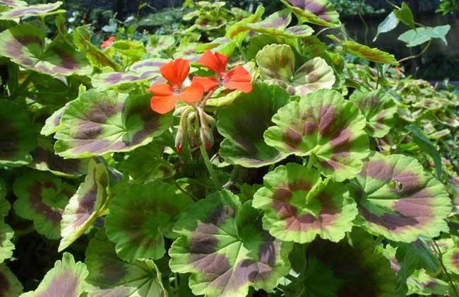 马蹄纹天竺葵