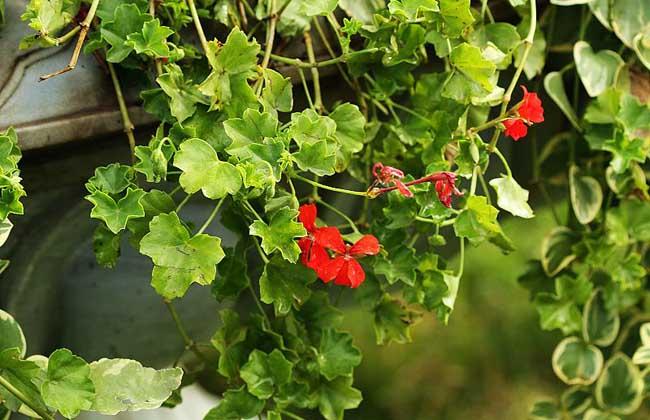 盾叶天竺葵