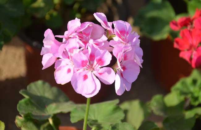 天竺葵花语