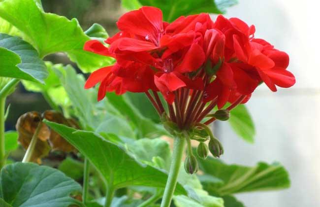 天竺葵能驱蚊吗?