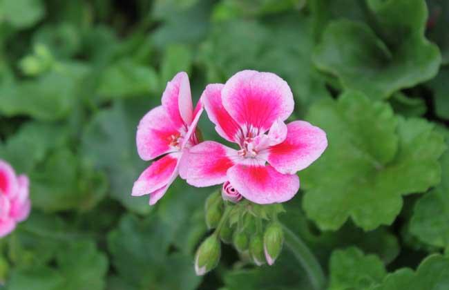 天竺葵种子繁殖方法