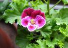 家天竺葵繁殖方法