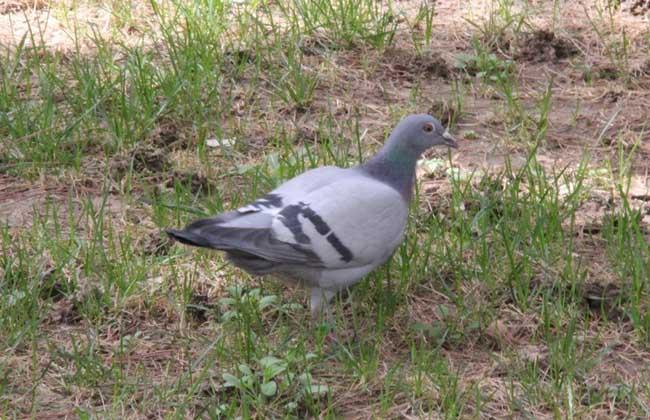 信鸽的饲养与训练视频