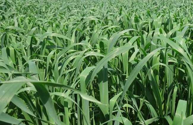 绿色饲料种植