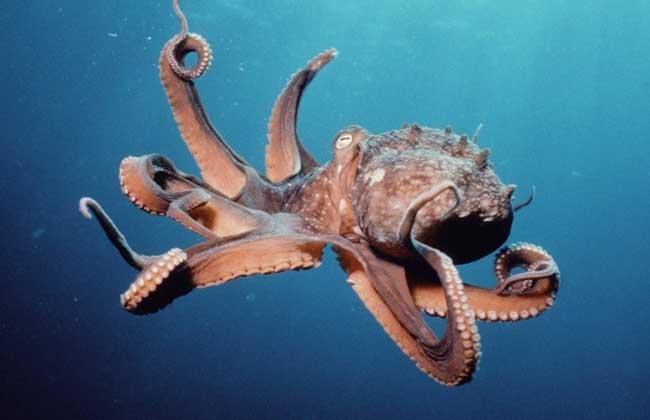 章鱼智商很高吗