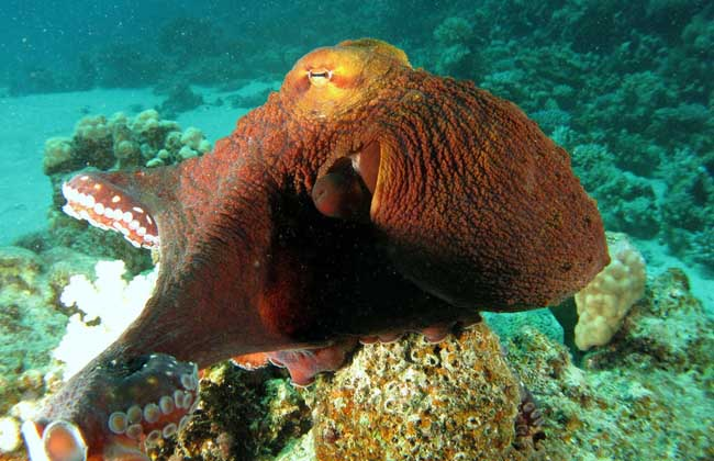 章鱼有几只脚?