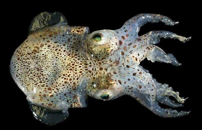 章鱼种类图片
