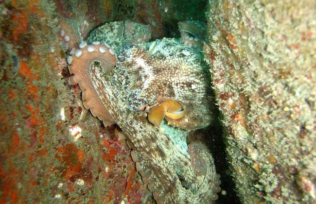 章鱼广泛分布于世界各地热带及温带海域,我国南北沿海均有分布,种类约有650种,大小相差极大。章鱼十分聪明,甚至能使用工具,科学家通过基因解码发现章鱼拥有一套和人类相似的基因,这解释了为什么章鱼具有学习能力,下面我们就一起来看一看章鱼是什么动物吧!