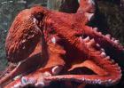 巨型章鱼到底有多大?