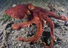 章鱼人工养殖技术