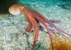 章鱼的天敌是什么?